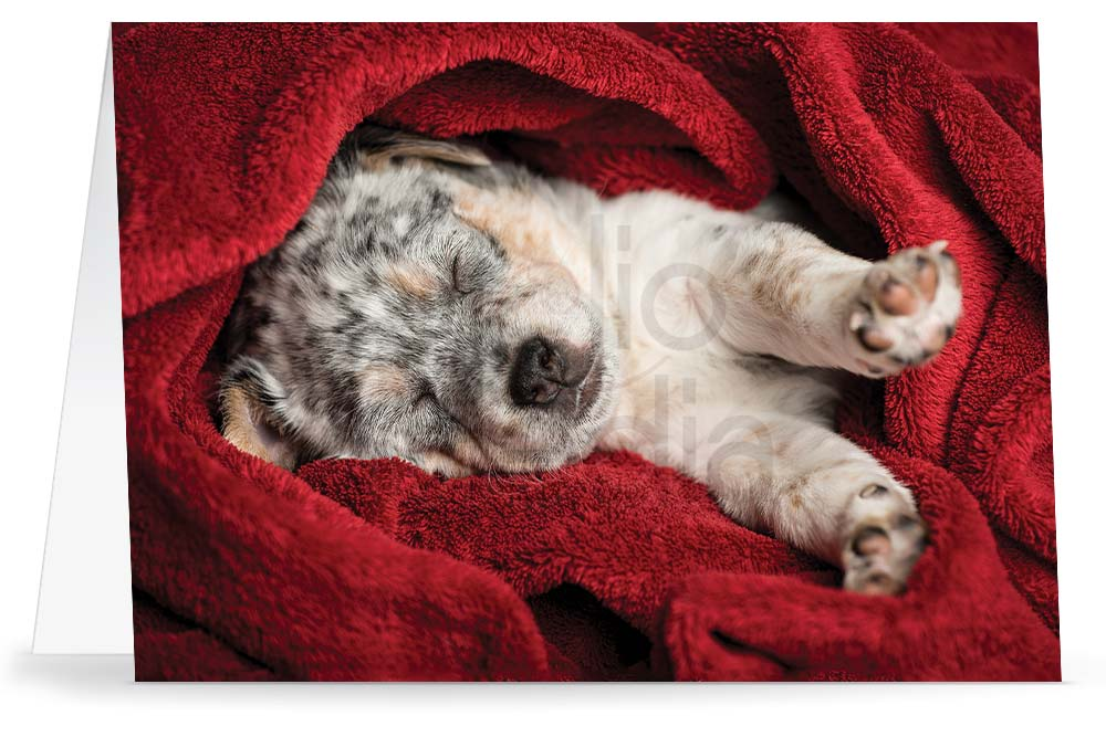 Cattle dog puppy in a red blanket on a Holiday greeting card
